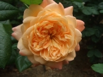 'Lawrence of Arabia' rose