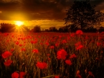 Sunset poppies