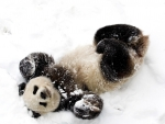 Cute panda bear playing