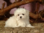 white furry puppy