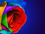 Multi color rose
