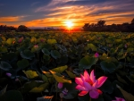 Sunset lotuses