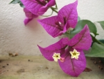 Beautiful purple bougainvillea flowers