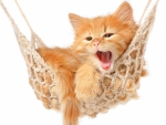 Sweet kitten in hammock