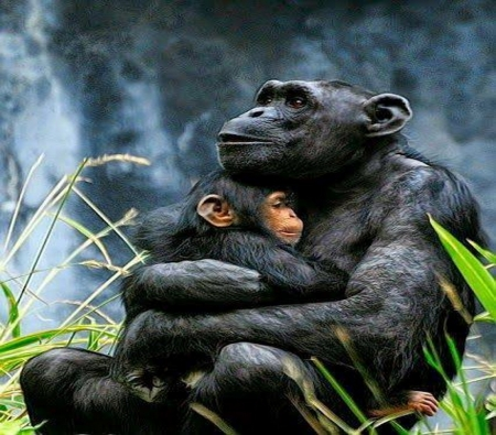 Safe and warm - mother, love, baby, chimps