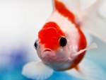 Red and White Goldfish
