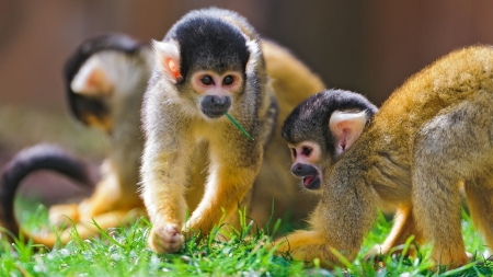 Monkeys - monkey, nature, primate, animal