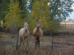 Horses in Teton Valley, Idaho