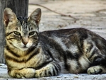 Tabby Cat Lying Down f
