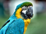 Green-capped Macaw Parrot