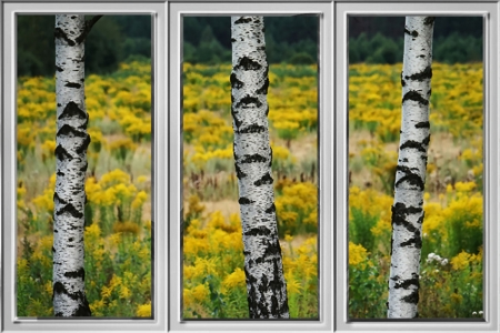 Birches Through Window - photography, beautiful, scenery, window effect, landscape, birch trees, photo