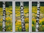 Birches Through Window