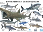 Cartilaginous Fishes Of The Mediterranean Sea
