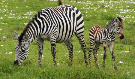 Zebra and Foal - photo, foal, equine, animal, wide screen, beautiful, photography, wildlife, baby, zebra, mother