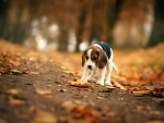Autumn Beagle