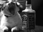The cat and the bottle of whiskey