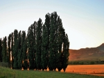 Poplar Trees at Sundown