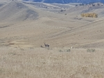 Pronghorns near Cody, Wyoming