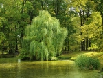 Pond with Willow  Tree