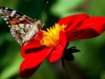 Brown Butterfly on Red Flower