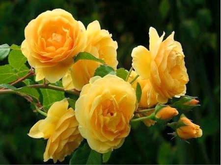 Sunny roses - flowers, green, roses, yellow