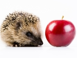 The hedgehog and the apple