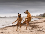 Dancing Dogs