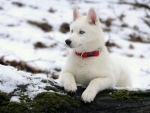 Cute husky dog