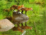 Reflection of Foxes in the Grass