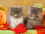 Persian kittens in autumn
