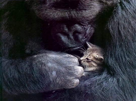 Giant love - primate, ape, kitten, mother, baby