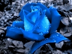 Blue Rose with Dew Drops