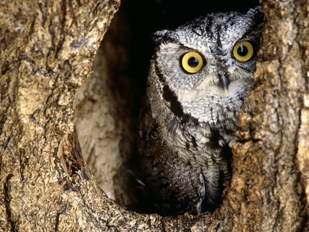 Peeking owl - bird, tree, owl