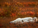 Polar Bears Relaxing in the Autumn