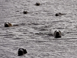 Seals shelter from stormy seas near Foula in Scotland