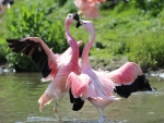 Flamingos dancing