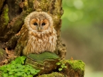 Fluffy Little Owl