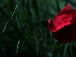 One Red Poppy