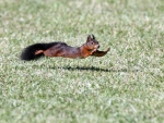 Squirrel in motion