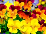 Colorful Pansies