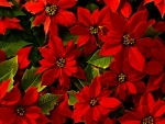 Beautiful Poinsettias Flowers