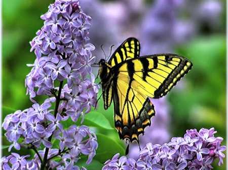 Lilacs and butterfly butterflies animals background for Lilac butterfly wallpaper