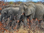 Elephant Herd in Fall