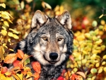 Autumn Gray Wolf f