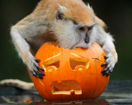 Happy Halloween! - halloween, orange, pumpkin, funny, monkey, animal