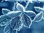 Frosty Blue Leaves