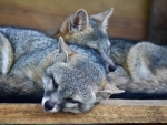 Gray Fox Pair f