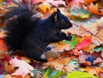 Black Squirrel in Autumn Foliage f