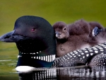 Common Loon Chicks f