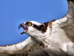 Flying Osprey